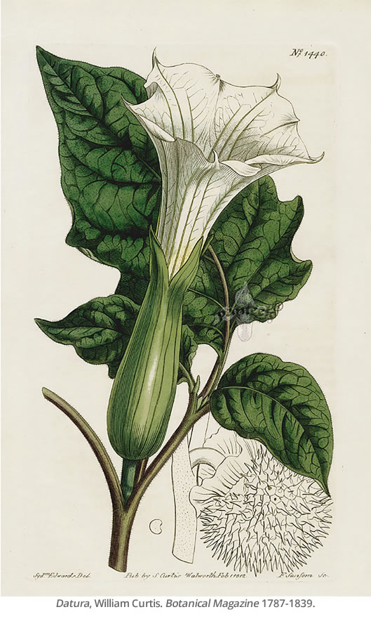 Datura, William Curtis. Botanical Magazine 1787-1839.